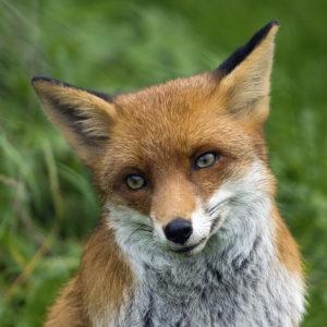 dna-fox say
